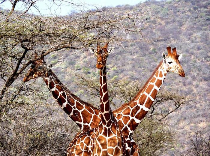 Трое жирафов очень удачно расположились в национальном заповеднике «Samburu National Reserve» в Кении.
