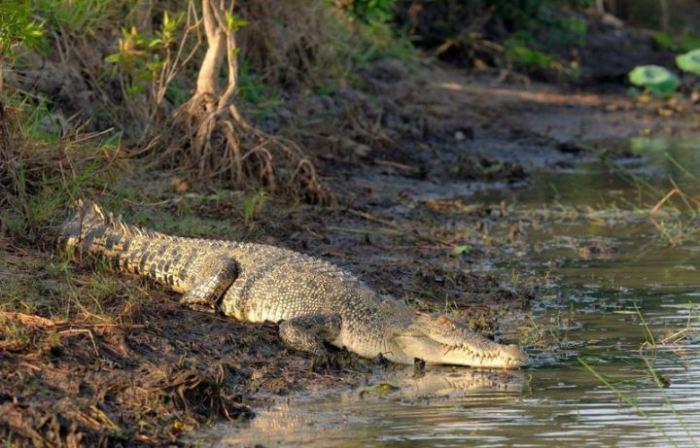 Гигантские кровожадные гребнистые крокодилы, населяющие остров, достигают в длину более 6 метров.