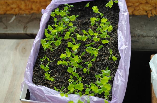 Как сажать семена сельдерея 50