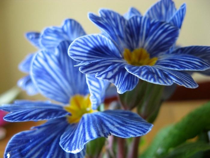 Селекционеры Бельгии вывели новый сорт примул – с желтой серединкой, белыми и голубыми лепестками - новый сорт получил название «Голубая зебра».