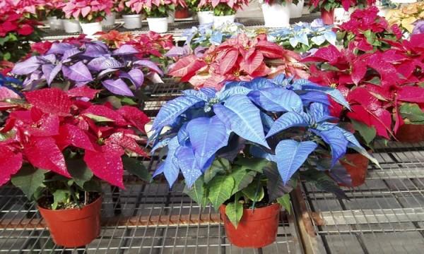 Цветок рождественская звезда размножение в домашних условиях