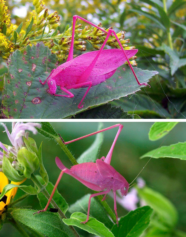 Pink Grasshopper blindness, animal world, creatures of our planet, facts