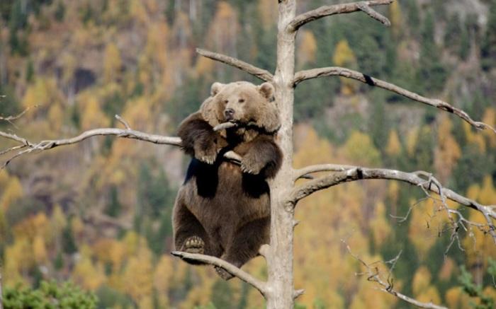 Медведица забралась на вершину дерева, чтобы вздремнуть и насладиться пейзажем. Несмотря на неуклюжий вид, бурый медведь иногда может быстро бегать — со скоростью до 50 км/ч, превосходно плавает и в молодости хорошо лазает по деревьям. Фотограф Jorgen Tharaldsen.