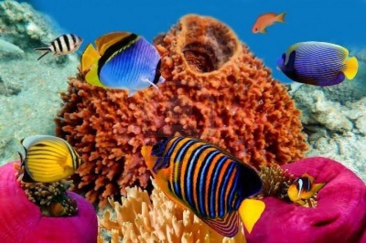 Regal angelfish in the Red Sea, Egypt. анджелфиш,животное,аквариум,водные,с