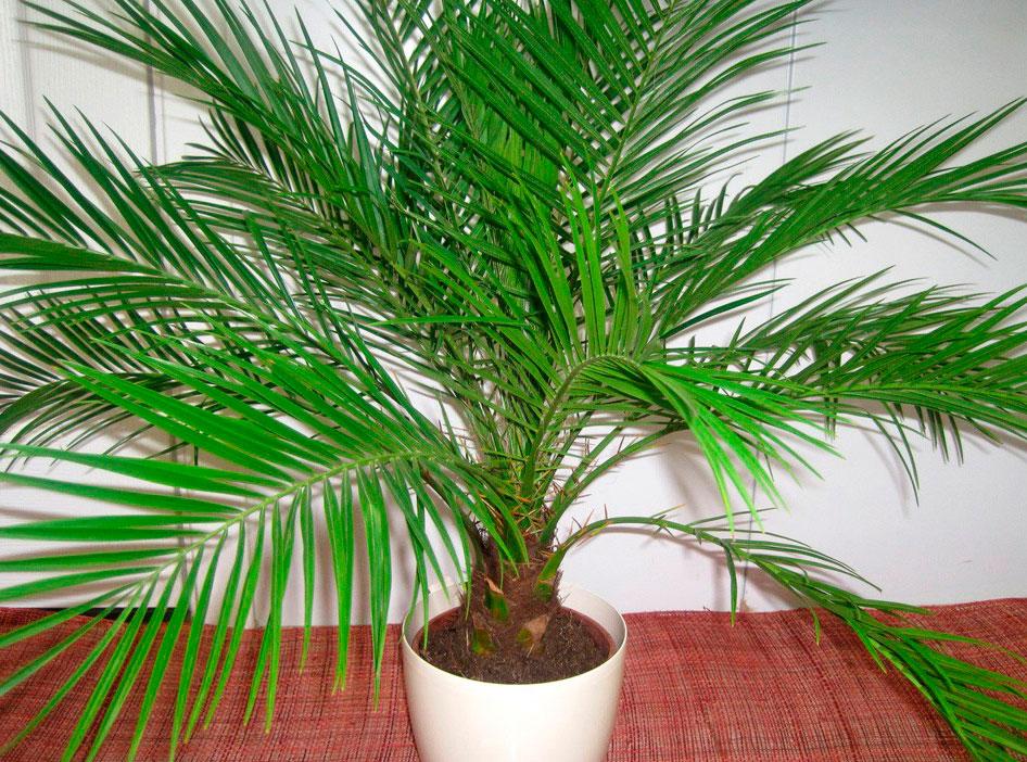 Фото комнатные цветы пальмы