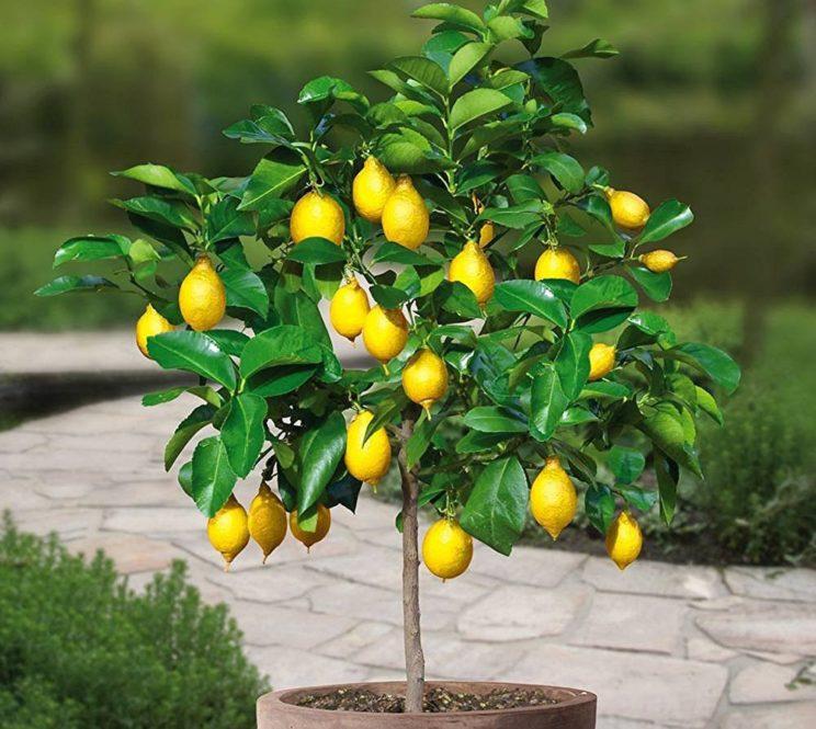 Домашний лимон уход в домашних условиях фото 479