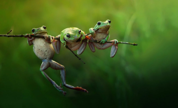 Лягушки на острове Борнео. Фотограф Harfian Herdi.