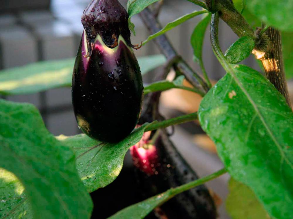 Посадка и выращивание баклажанов в теплице 55