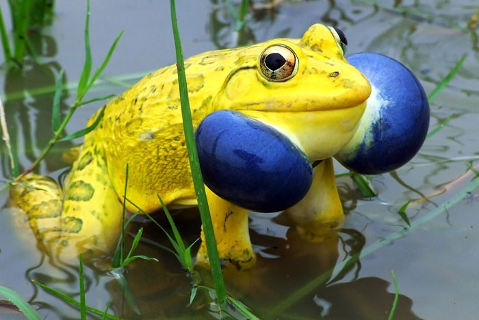 Bullfrog blindness, animal world, creatures of our planet, facts