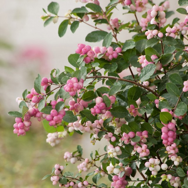 "������������� ��������� ""�������� ����"" (Symphoricarpos x doorenbosii 'Magical Sweet')"