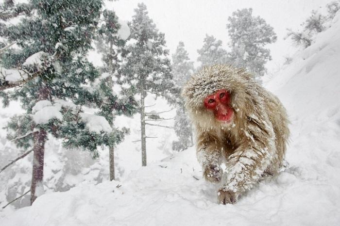 В жизни японских макак много и других интересных моментов, кроме как отмокать в горячих источниках. Фотограф: Jasper Doest.