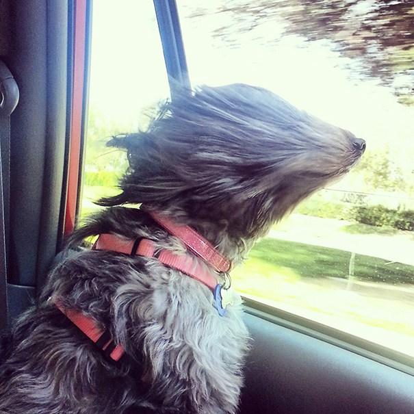 собака любит кататься в машине