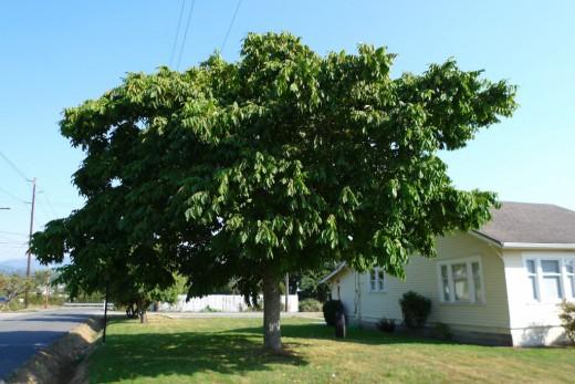 Дерево ореха маньчжурского