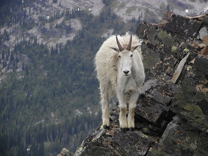 Животное, у которого напрочь отсутствует боязнь высоты.