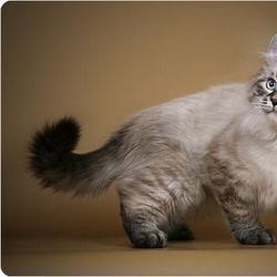 Сама элегантность: невская маскарадная кошка