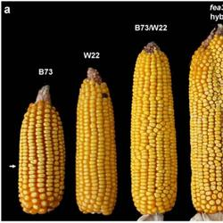 Биологи создали кукурузу-мутанта с двумя початками