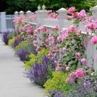 Удачное соседство для ваших роз: какие растения стоит посадить рядом?