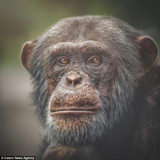 «Живая» мимика приматов, которая делает их невероятно похожими на нас