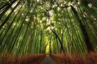 Знаменитая бамбуковая роща: так вот она какая!