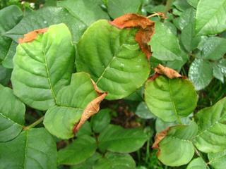 Обработка роз от болезней