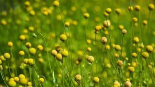 Идеальные шарики соцветий цефалофоры ароматной