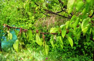 Меры борьбы с вредителями и болезнями абрикоса