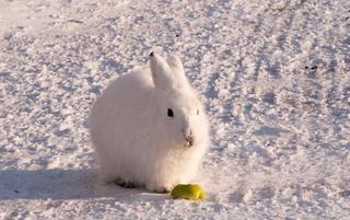 Красота полярных кроликов