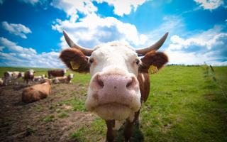 Аплодирую стоя!!! Про ДТП с участием коровы