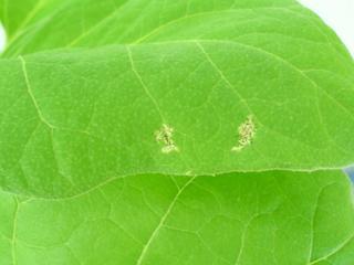 Откуда на листьях помидоров берутся белые пятна?
