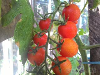 Уход за помидорами в теплице летом