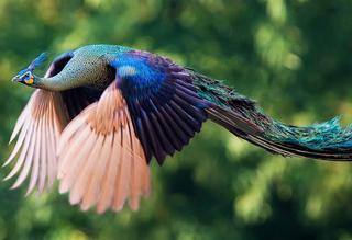 Летающие павлины