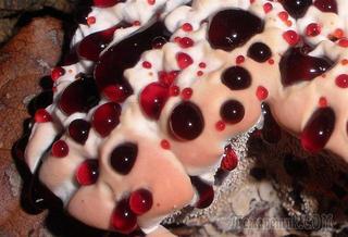 Ядовитый гриб «Кровавый зуб»: убийственная красота