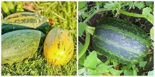 Подробный обзор сортов тыквы – огороднику на заметку!