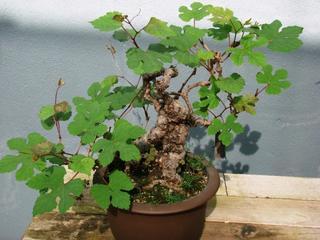Виноградовник, или Ампелопсис — лиана с разноцветными ягодами