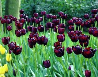 Черные цветы: 15 видов растений с темными бутонами и листьями