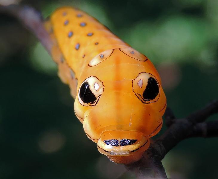 Вид Papilio troilus