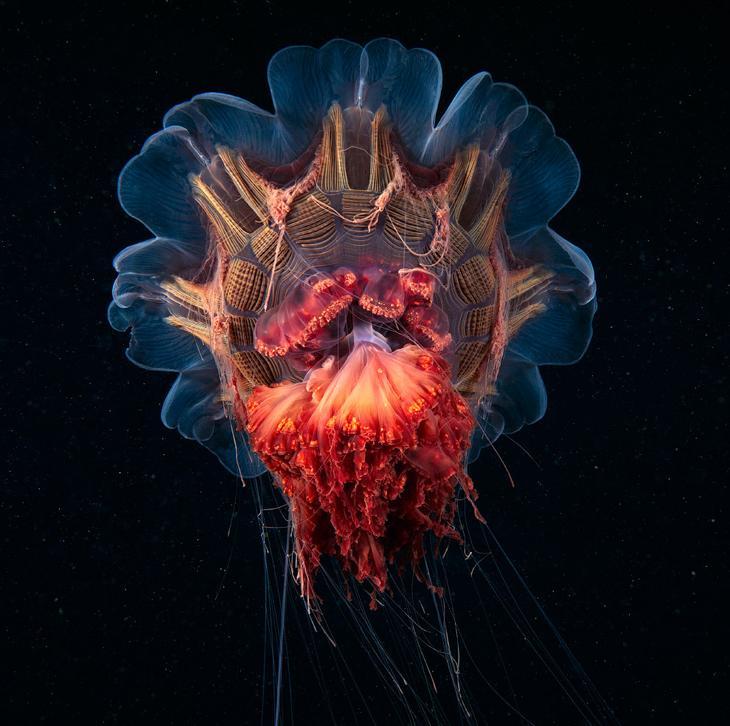 Сцифомедуза