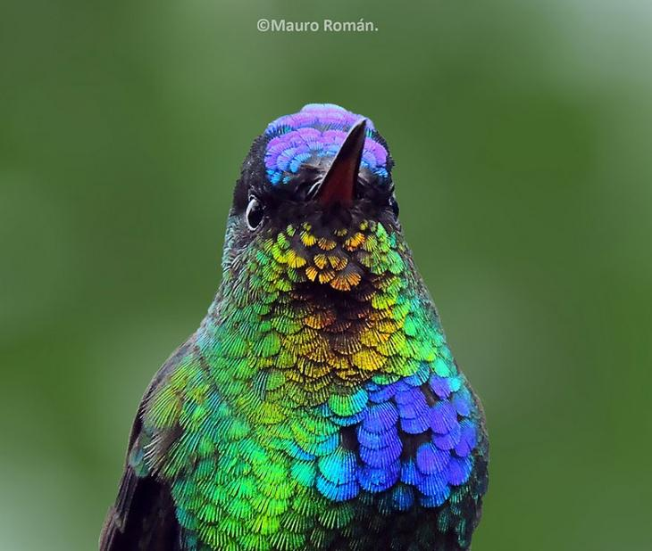 Колибри Panterpe insignis