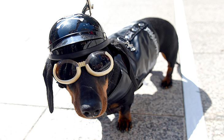 Собака-байкер из Мельбурна