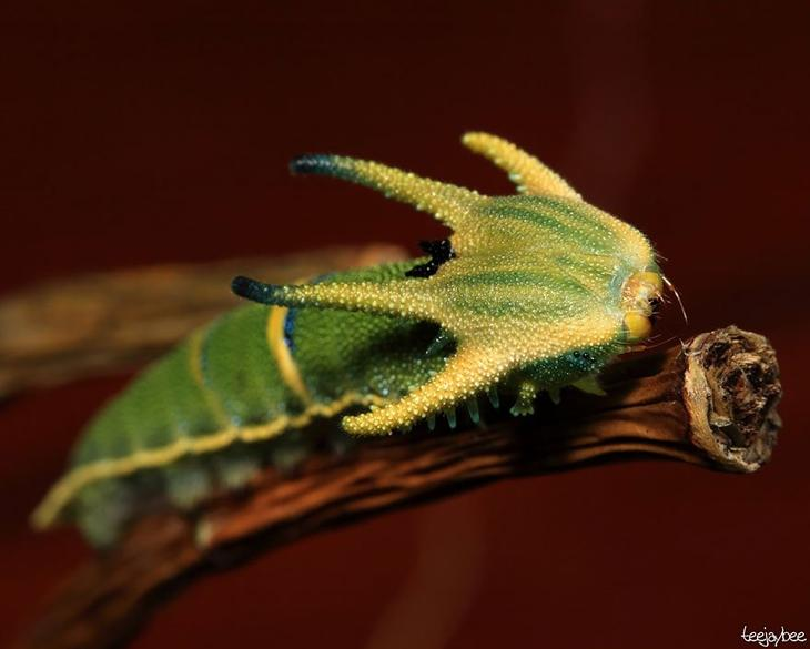 Вид Polyura sempronius