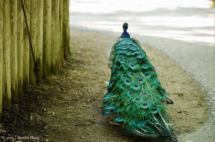 Красивые птицы павлины. Шикарный хвост. Фото