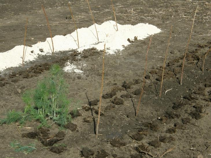 Сад: Ежевика садовая: посадка, уход и обрезка