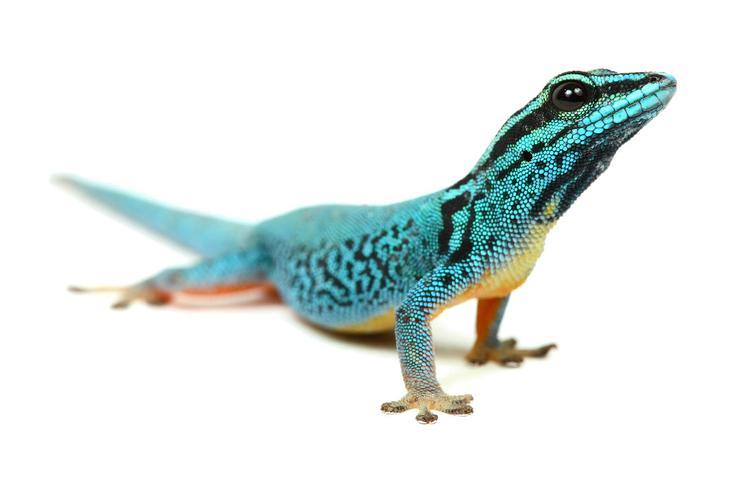 Ящерица из семейства гекконовых