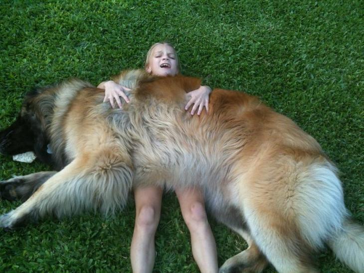 3. Леонбергер (кроткий горный лев) волк, животные, коты, породы, собаки