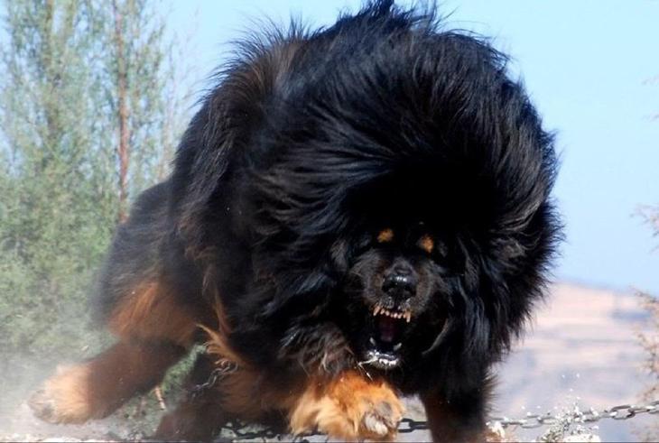 21. Одна из самых необычных пород собак — Тибетский мастиф. интересное, фото