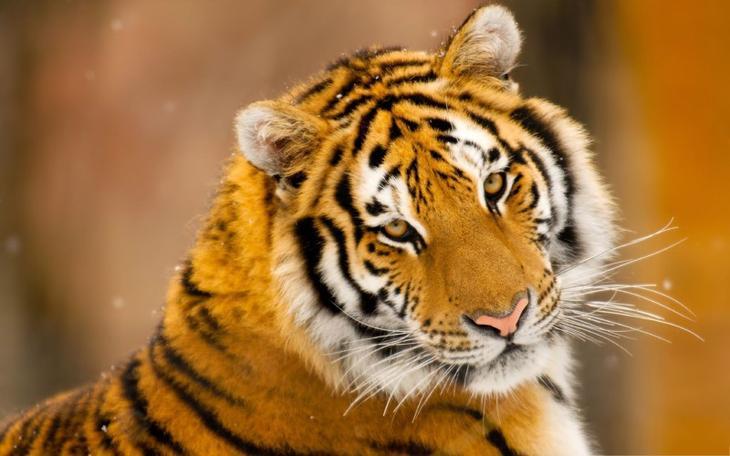 10 интересных фактов о тиграх! Белый тигр, Факты о тиграх, животные, коты, тигры, факты