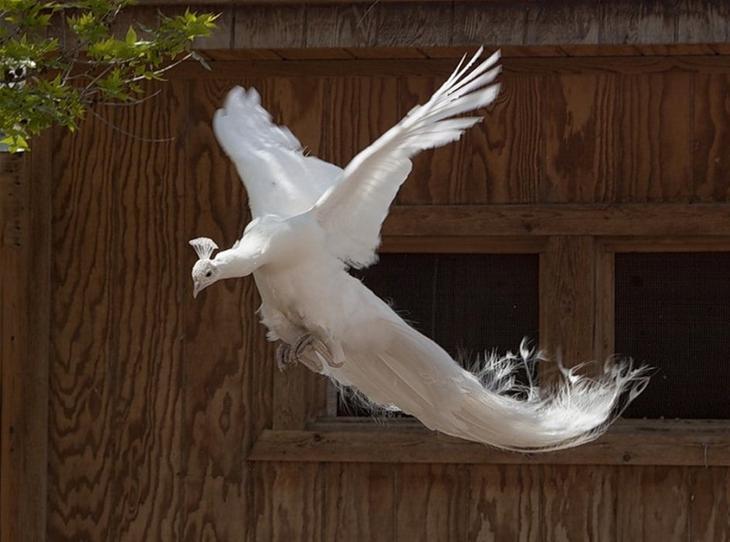Красивые птицы павлины. Белый павлин. Фото