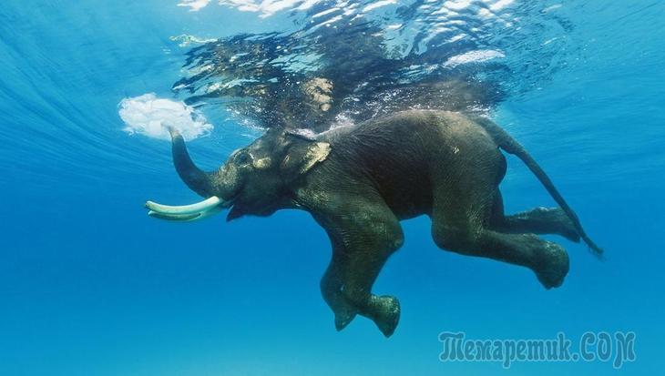 ныряющий слон
