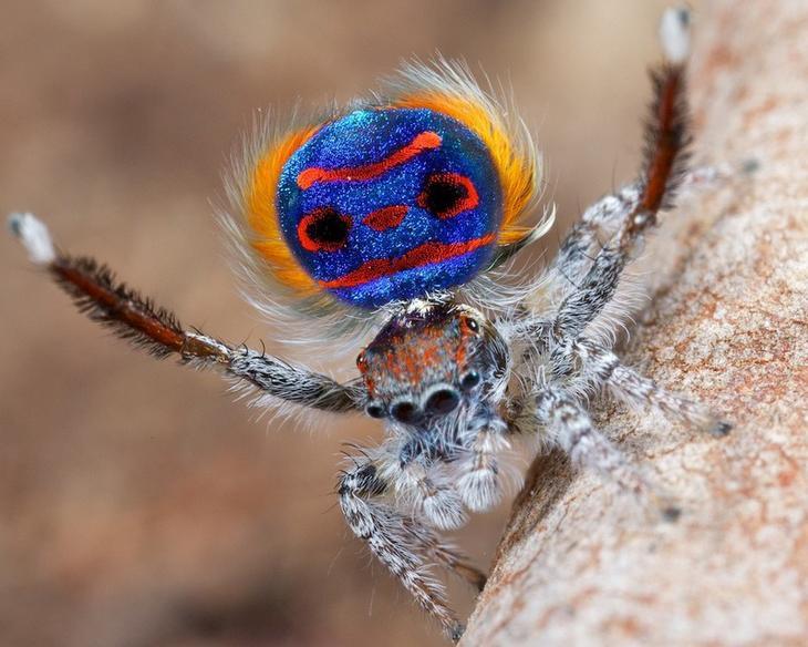 Паучки - павлины животные, красивые, пауки