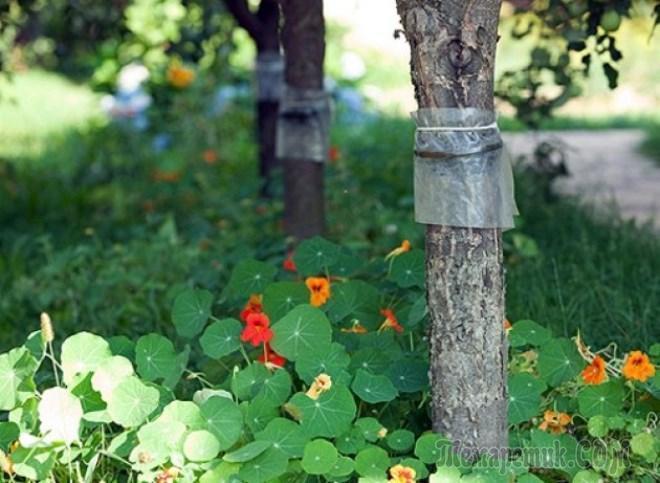 Ловушки для муравьёв на деревьях